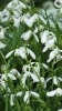 A Swathe of Snowdrops in Dalby