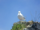 Seagull Nesting on Castell Conwy