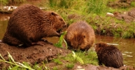 Image: Welsh Beaver Project