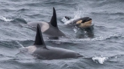 Orca calf photographed off Caithness